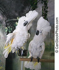 Cockatoos Showing Off - Two Cockatoos Being Cocky