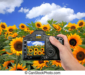 Shooting a Photograph in a Sunflower Field - DSLR Camera...
