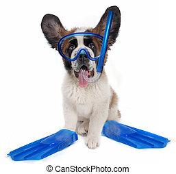 Saint Bernard Wearing Snorkeling Gear on White Backgroud -...