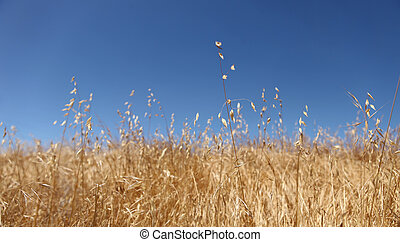 Bright Golden Wheat Field  With a Beautiful Sky