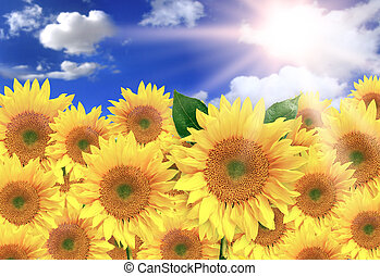 Bright Yellow Sunflowers on a Beautiful Sunny Day
