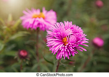 Aster alpinus (Alpine aster) in the late autumn garden....