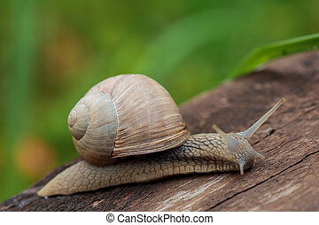 Burgundy snail, Roman snail, edible snail or escargot (Helix...
