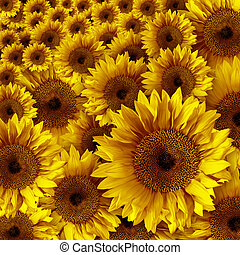 Yellow Vintage Rustic Looking Grunge Sunflowers - Yellow...