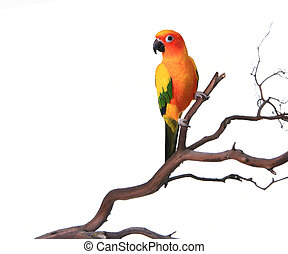 Sun Conure on a Branch - Bold Colored Sun Conure Parrot on a...