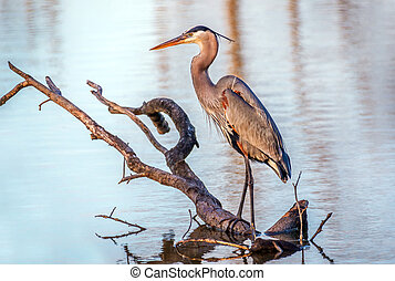 Chesapeake Bay Great Blue Heron fishing in a pond - Great...