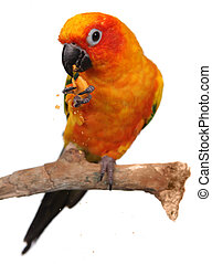 Sun Conure Eating a Cracker Snack With Extreme Depth Of...