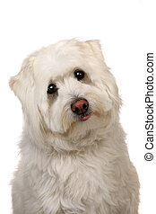 Woeful White Mut Dog With Big Eyes - Sad White Mut Puppy Dog...