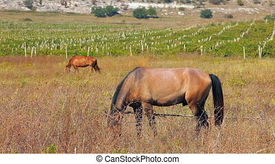 A horse grazes beside a vineyard