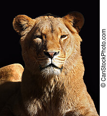Lioness isolated on the black portrait