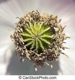 Detail of opium poppy in Latin papaver somniferum - Detail...