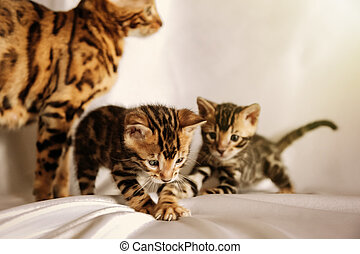 Two little bengal kittens playing together