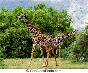 Two giraffes are grazed at acacia bushes. The pair giraffes...