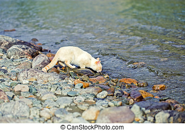 domastic cat drinking from the river on the shore - domastic...