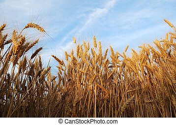 Wheaten field with the ripened ears for harvesting