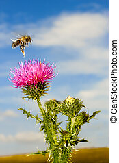 A bee flew over the thistle flower on the blue sky...