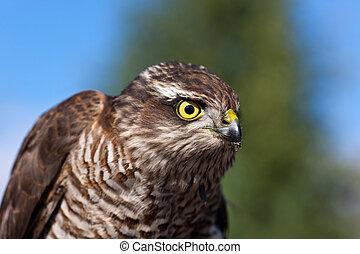 Pernis apivorus - portrait of Pernis apivorus - bird from...