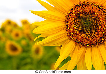 Sunflower on the field - field of sunflowers in the sun,...