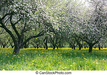 white blossoming apple trees, green grass with flowers.