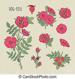 Dog rose medical botanical isolated illustration. Plant,...
