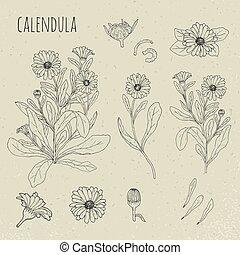 Calendula medical botanical isolated illustration. Plant,...