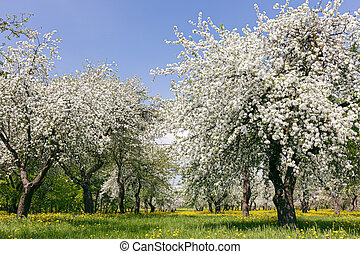 blooming apple trees on blue sky background