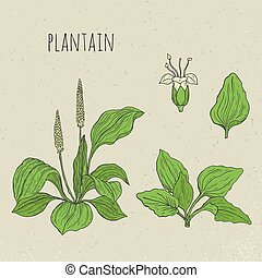 Plantain medical botanical isolated illustration. Plant, leaves, flowers hand drawn set. Vintage sketch colorful.