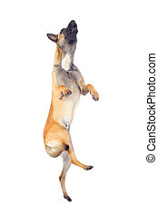 belgian shepherd dog jumping against white background
