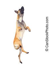 belgian shepherd dog jumping against white background