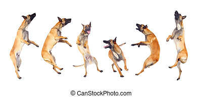 belgian shepherd dog running and jumping against white...