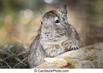 Small degu in the forest - Portrait of a little degu peeking...