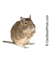 Little degu isolated on a white background - Little degu...