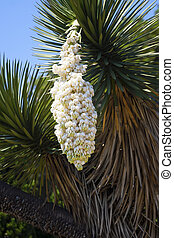 Huge white flower of a yucca - Huge white flower of a palm...