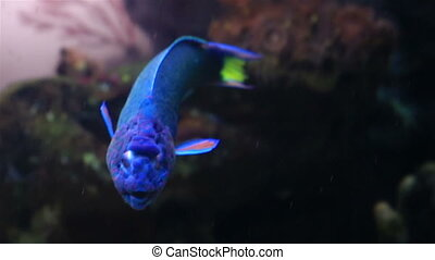 Wrasse in the decorated Marine Aquarium - Wrasse in the...