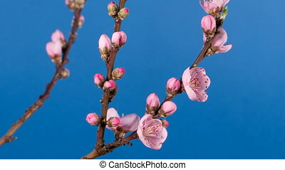 Flowering branch of a peach tree, time lapse