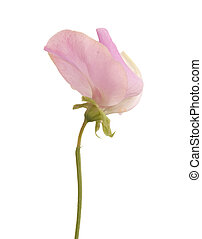 sweet pea flower - light pink sweet pea flower isolated on...