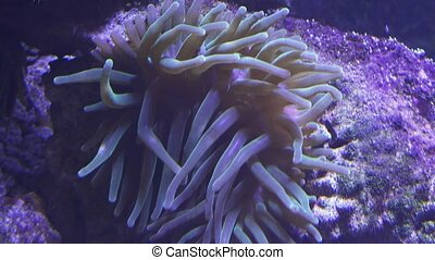 Sea anemones in saltwater aquarium - Sea anemones in the...