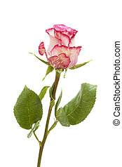 mottled green and magenta rose isolated on white background