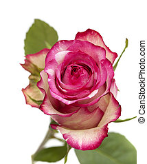 mottle green and magenta rose - mottled green and magenta...