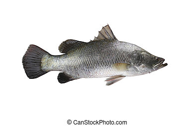 White sea bass fish isolated on white background.