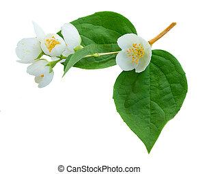Jasmine flowers and leaves - Jasmine fresh flowers and...