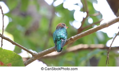Asian emerald cuckoo Chrysococcyx maculatus Female Cute...