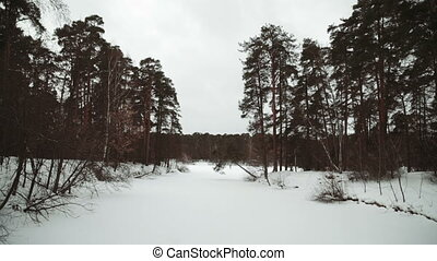 Winter snowstorm with floating snowflakes falling on a forested landscape of evergreen pine trees covered in fresh pristine white snow
