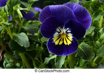 Viola flower close up - Viola flower, macro of purple viola...