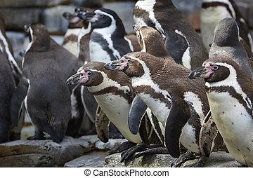Humboldt penguin (Spheniscus humboldti) - Humboldt penguins...