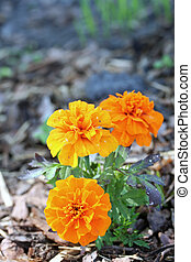 Tagetes patula (the French marigold) in the alpine garden,...