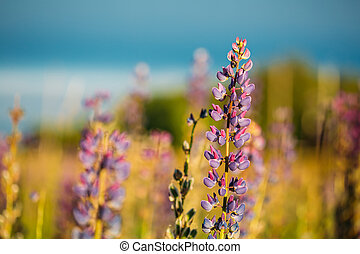 Wild Flowers Lupine In Summer Field Meadow. Close Up....