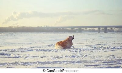 Golden retriever dog enjoying winter playing in the snow on sunny day runs with a stick in his mouth in slow motion.