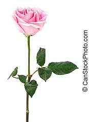 single rose - single pink rose on a white background
