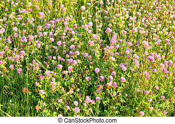 Red clover close up. - Red clover, Latin Trifolium pratense....